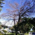 Tree Maintenance - City Owned at 128 Thorncrest Rd NW Thorncliffe